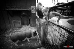 On their wedding day, Angi and Mike visit with one of the pigs at Willows Lodge in Woodinville, WA. (Photo by Dan DeLong/Red Box Pictures)