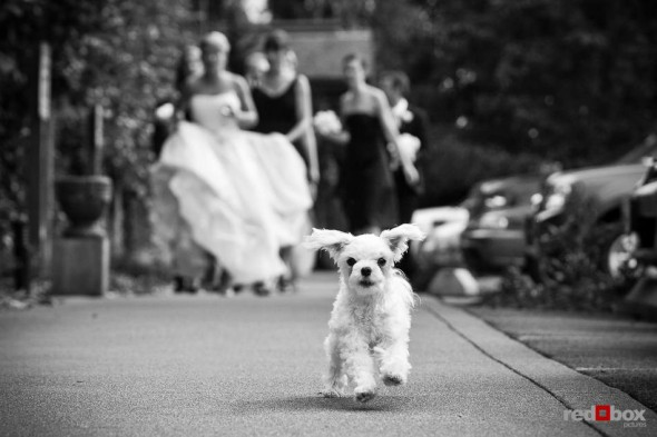Angi and Mike's dog Maddie leads the wedding party to a photography session at Willows Lodge in Woodinville, WA. (Photo by Dan DeLong/Red Box Pictures)