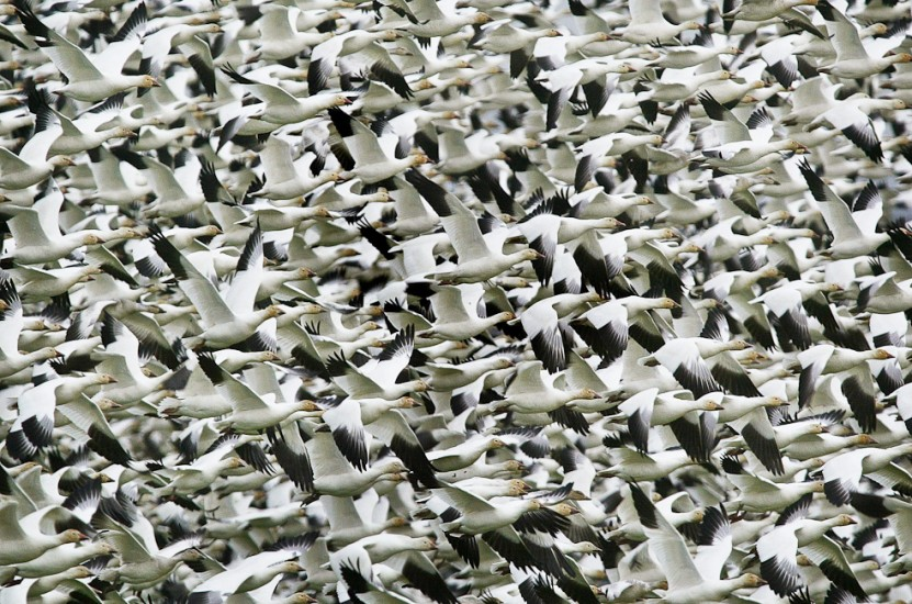 Nature -Snow Geese (Photography by Dan DeLong / Red Box Pictures