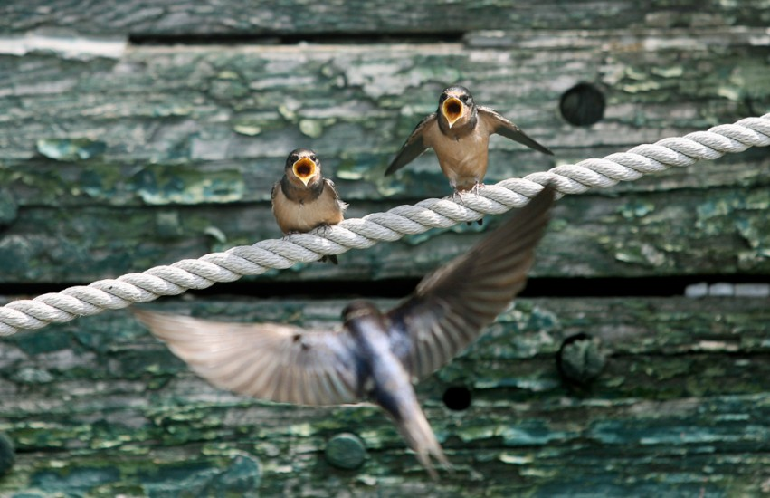 Nature - Barn Swallows(Photography by Dan DeLong / Red Box Pictu